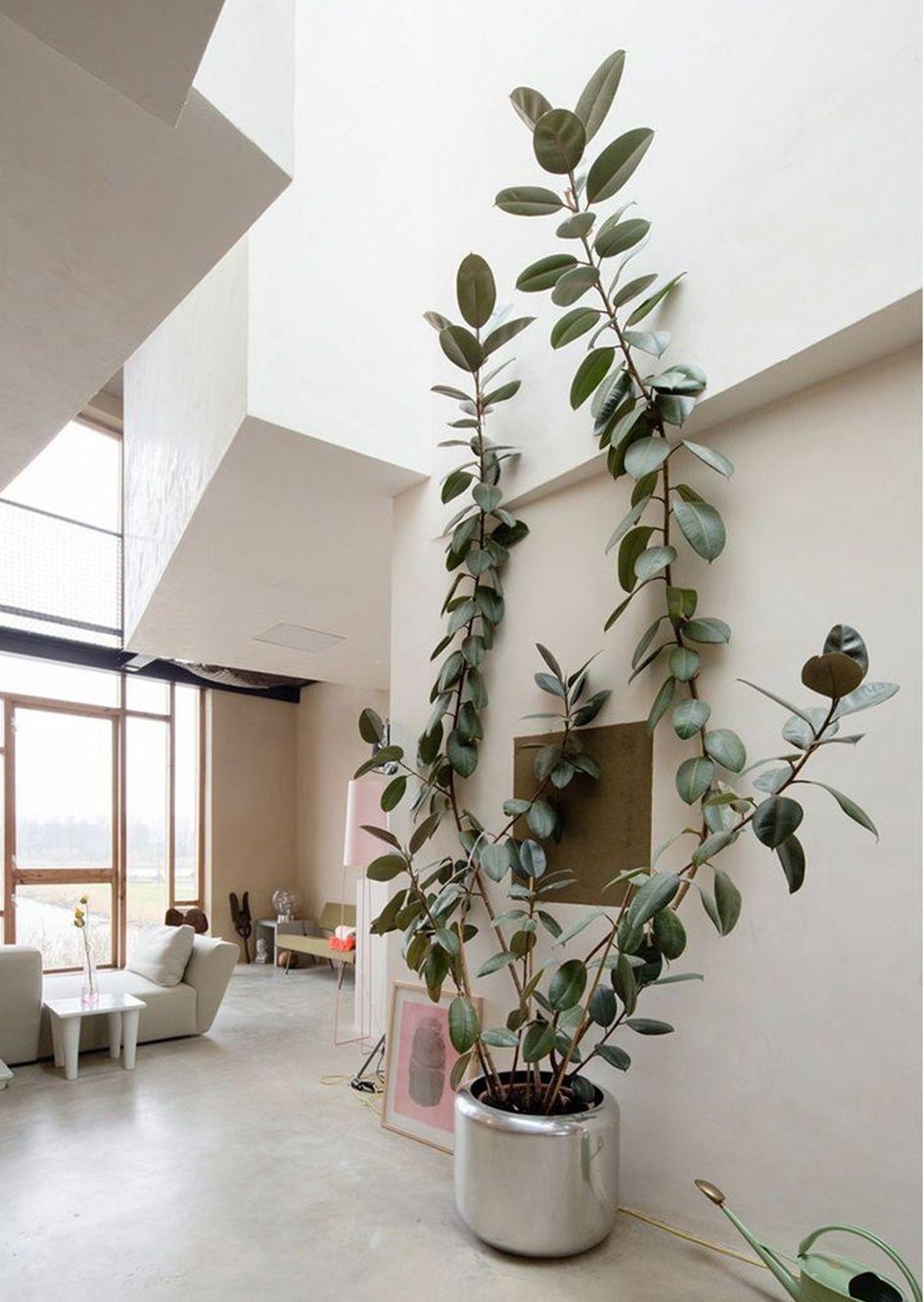 Ficus robusta grande